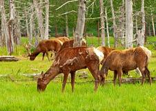 Cervi d'Alasca Fotografie Stock