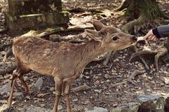 Cervi d'alimentazione in Nara Park fotografia stock libera da diritti