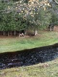 Cervi dal fiume piovoso fotografie stock