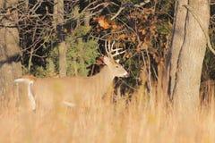 Cervi dalla coda bianca Fotografia Stock Libera da Diritti