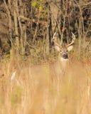 Cervi dalla coda bianca Fotografie Stock Libere da Diritti