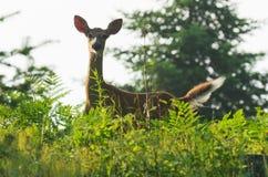 Cervi dalla coda bianca a fissare di aumento di Sun Fotografia Stock Libera da Diritti
