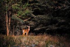 Cervi dalla coda bianca nel legno fotografia stock libera da diritti