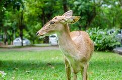 Cervi dalla coda bianca su un fondo erboso del campo Fotografie Stock Libere da Diritti
