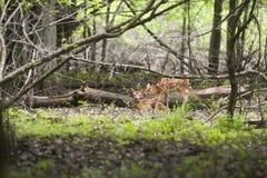 Cervi del bambino che stringono a sé in Forrest Setting Fotografia Stock