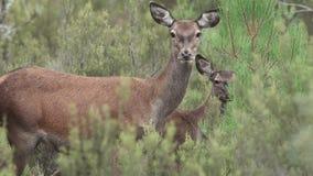 Cervi del bambino e della mamma che esaminano macchina fotografica con le grandi orecchie video d archivio
