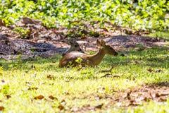 Cervi del maiale Fotografia Stock Libera da Diritti