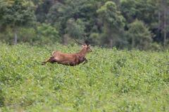 Cervi del maiale Immagine Stock