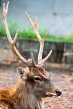 Cervi del Sambar Fotografia Stock