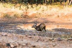 Cervi del Sambar alla luce dorata Immagini Stock Libere da Diritti