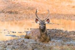 Cervi del Sambar che si rilassano nel fango Fotografie Stock Libere da Diritti