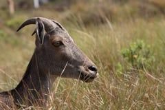 Cervi del sambar del tahr di Nilgiri Immagine Stock