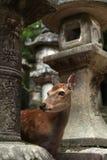 Cervi del tempio Fotografie Stock Libere da Diritti