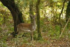 Cervi del terreno boscoso Fotografia Stock
