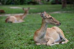 Cervi dell'antilope che si siedono sull'erba Fotografia Stock Libera da Diritti