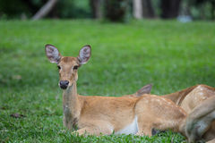 Cervi dell'antilope che si siedono sull'erba Fotografie Stock