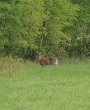 Cervi della coda bianca Fotografia Stock Libera da Diritti