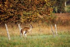 Cervi della coda bianca che si arrestano nella rete fissa Fotografia Stock