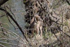 Cervi della coda bianca nel legno Fotografia Stock