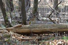 Cervi della coda bianca nel legno Fotografie Stock Libere da Diritti