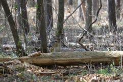 Cervi della coda bianca nel legno Immagini Stock