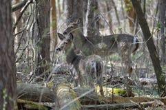 Cervi della coda bianca nel legno Fotografia Stock Libera da Diritti