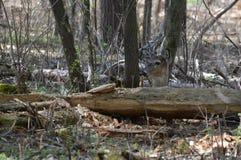 Cervi della coda bianca nel legno Immagine Stock