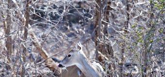Cervi della coda bianca su un campo da golf in Oklahoma immagini stock libere da diritti
