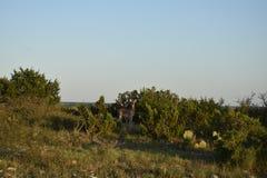 Cervi della daina della coda bianca Fotografia Stock