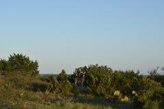 Cervi della daina della coda bianca Immagine Stock