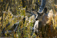 Cervi della daina in spazzola Fotografia Stock Libera da Diritti