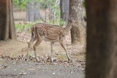 Cervi della foresta Immagini Stock Libere da Diritti