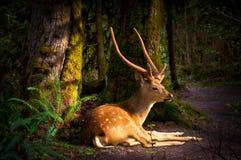 Cervi della foresta alla luce di mattina Fotografia Stock Libera da Diritti