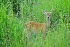 Cervi della madre Fotografie Stock
