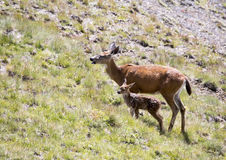 Cervi della madre con il fawn del bambino Immagini Stock Libere da Diritti