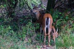 Cervi della madre e del Fawn che mangiano erba vicino al fenceline nello Stato del Washington immagine stock libera da diritti