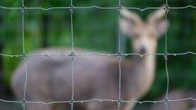 Cervi della sfuocatura nel parco Immagini Stock