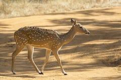 Cervi dello Sri Lanka di asse fotografia stock