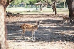 Cervi dentro il parco dei cervi Fotografia Stock