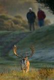 Cervi di aratura e due uomini Fotografie Stock