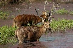 Cervi di Barasingha nell'habitat della natura in India Fotografia Stock