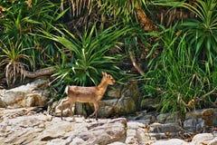Cervi di Kerama del bambino veduti Aka sull'isola, Okinawa, Giappone immagine stock