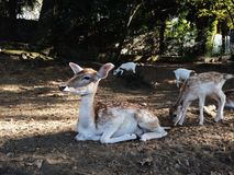 Cervi di maggesi nel parco di autunno immagini stock libere da diritti