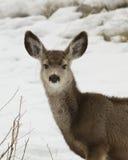 Cervi di mulo Fotografia Stock