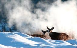 Cervi di mulo immagine stock