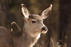 Cervi di mulo. Fotografia Stock