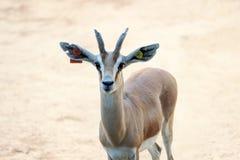 Cervi di mulo Fotografia Stock Libera da Diritti