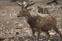 Cervi di Polka di Brown nel parco Immagine Stock Libera da Diritti