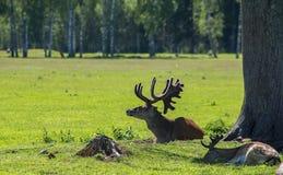 Cervi di Reed in natura, giorno di estate immagine stock libera da diritti