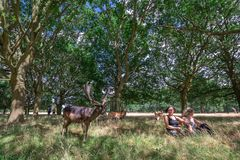 Cervi di riunione in Richmond Park fotografie stock libere da diritti